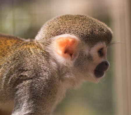 baby monkey: Squirrel monkey