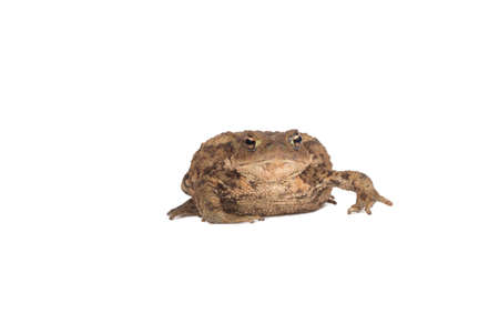 amphibia: Hoptoad isolated on white background