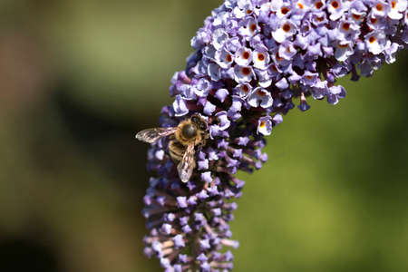 anther: Macro photography of a bee on a purple butterfly bush Stock Photo