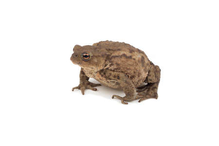 anuran: Hoptoad isolated on white background