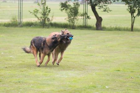 Two dogs, Belgian Shepherd Tervuren, playing with ball Stock fotó