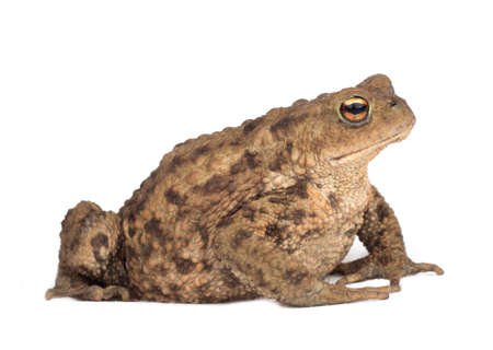 oudoors: Hoptoad isolated on white background