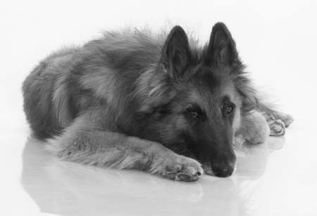 shiny floor: Dog, Belgian Shepherd Tervuren, black and white, isolated on shiny white floor