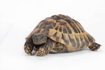 land turtle: greek land tortoise, Testudo Hermanni Stock Photo