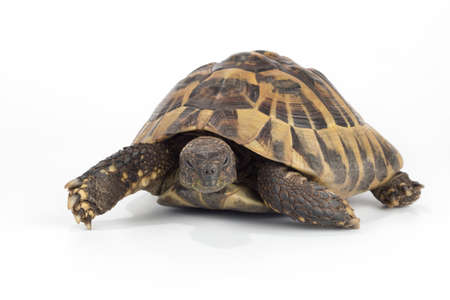 species of creeper: greek land tortoise, Testudo Hermanni Stock Photo