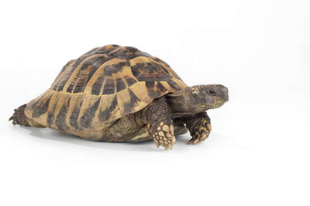 greek land tortoise, Testudo Hermanni 스톡 콘텐츠