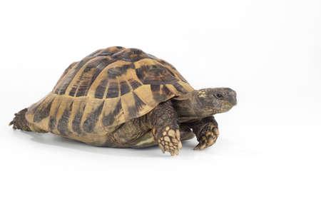 despacio: tortuga terrestre griego, Testudo