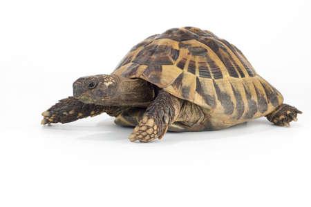tortuga: tortuga de tierra griega, Testudo Foto de archivo