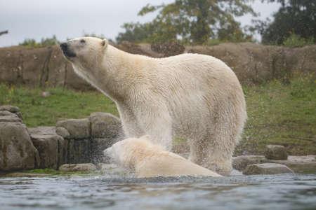 polaris: Polar bear, white bear