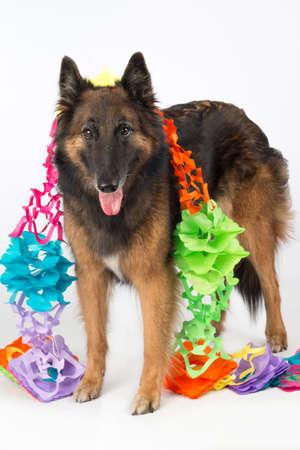 puta: Perro, pastor belga Tervuren perra, con guirnaldas