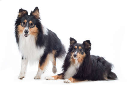 sheepdogs: two Shetland Sheepdogs, isolated on white studio background