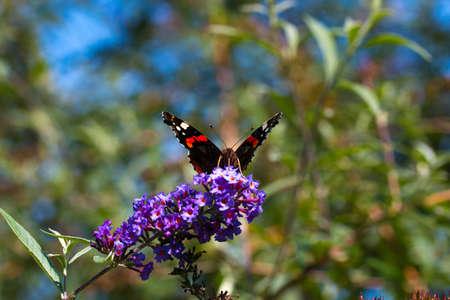 peacock butterfly: peacock butterfly on flower