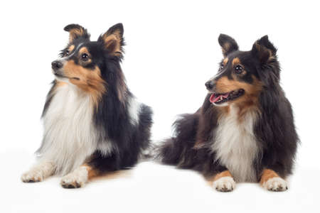 sheepdogs: Two Shetland Sheepdogs laying, isolated on white studio background