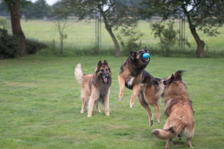 Three dogs playing and catching ball in grass
