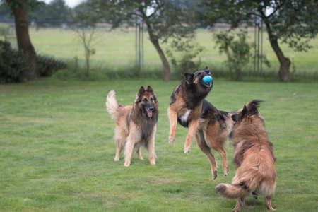 perros jugando: Tres perros jugando y la captura de la pelota en la hierba Foto de archivo