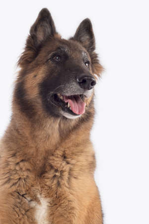 head protection: Dog, Belgian Shepherd Tervuren, headshot, isolated on white background