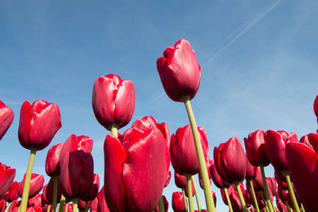 red tulips: Red tulips against blue sky for background Stock Photo