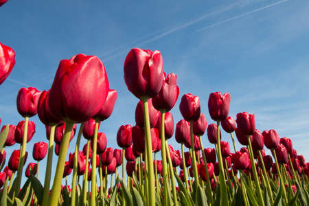 red tulips: Red tulips against a blue sky