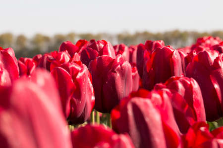 red tulips: Field of red tulips for background Stock Photo