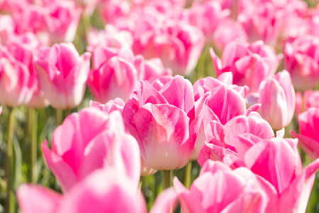 pink tulips: A field of pink tulips