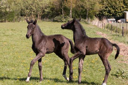caballo bebe: Dos potros del caballo de pie en pista de la hierba