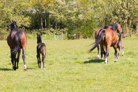 caballo bebe: Three horses and two foals running away in grass land