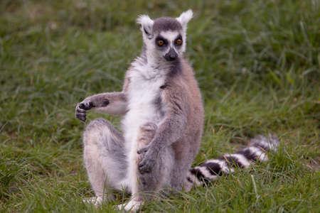 monkies: Lemur staring