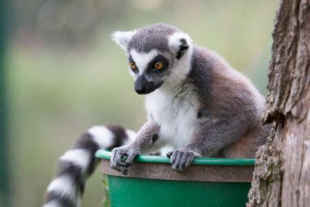 monkies: Lemur staring down