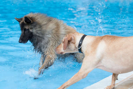 Two dogs running in swimming pool, blue water Stock Photo