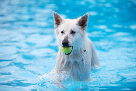 White Shepherd dog, fetching tennis ball in swimming pool, blue water