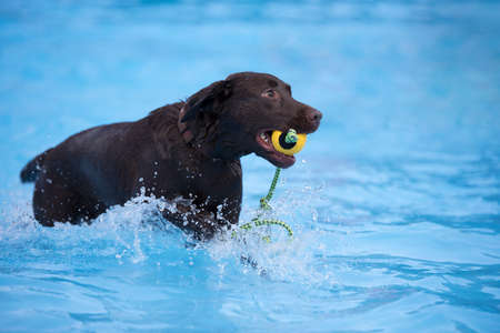 fetching: Dog, brown Labrador retriever, fetching yellow ball in swimming pool, blue water