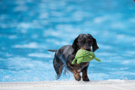 Dog, Dachshund, fetching toy out of swimming pool, blue water