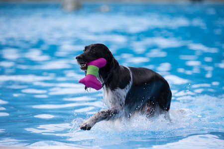 fetching: Dog, fetching toy in swimming pool, blue water