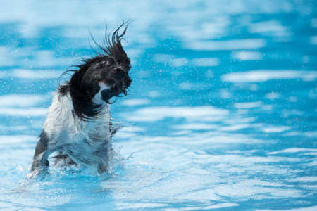 Dog, shaking head, in swimming pool, blue water Stock Photo