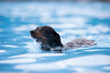 Dog, Dachshund, swimming in a swimming pool, blue water