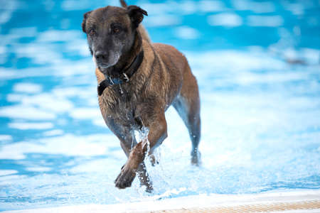 Dogm Belgian Shepherd Malinois, coming out of a swimming pool, blue water