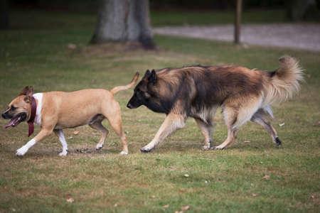 Two dogs, Staffordshire bull terrier and belgian shepherd tervuren, chasing each other