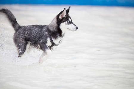 Husky dog puppy running in swimming pool