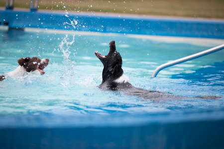 Two Border Collies playing with splatters in a swimming pool