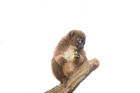 monogamous: Red bellied lemur sitting on branch, isolated