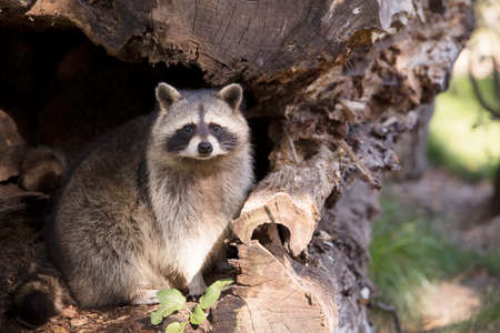 Racoon sitting in hollow tree trunk