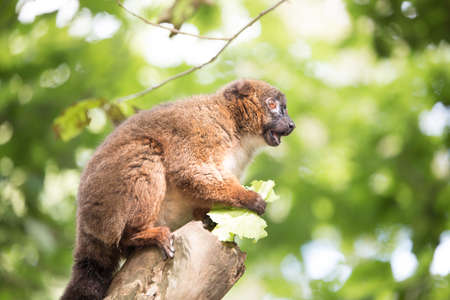monogamous: Red belied lemur sitting on a branch eating lettuce