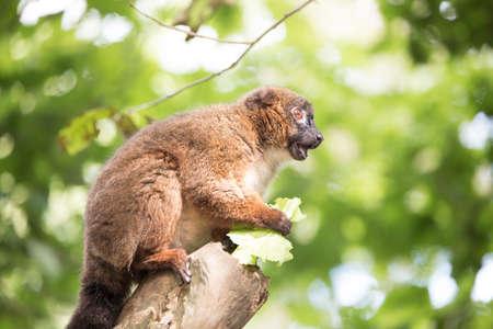 Red belied lemur sitting on a branch eating lettuce