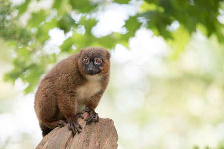 monogamous: Red-bellied lemur, sitting on tree trunk Stock Photo
