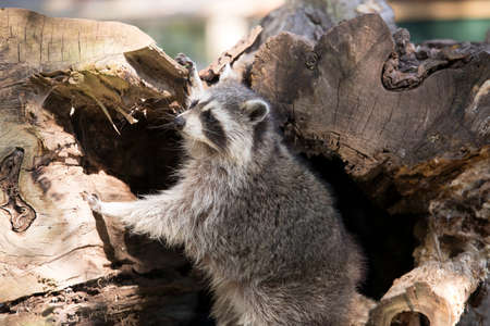 Racoon climbing out of hollow tree trunk