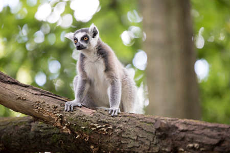 Ring-tailed lemur sitting on a tree trunk