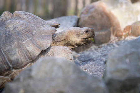 African spurred tortoise, close up head