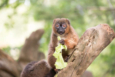 monogamous: Red bellied lemur sitting on a branch eating lettuce Stock Photo