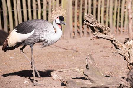 crowned crane: Grey Crowned Crane, walking