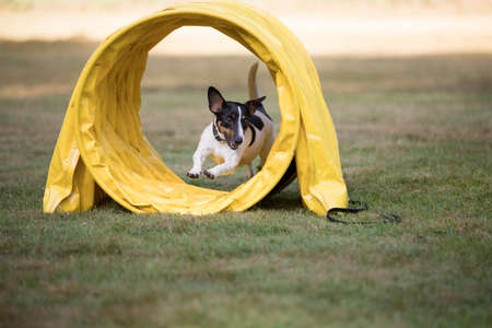 Jack Russell Terrier running through agility tunnel